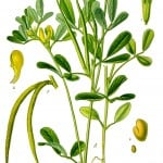 BFB Fenugreek