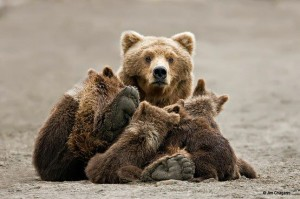 FB mama brown bear and cubs